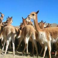 vicuñas de Pampas Galeras